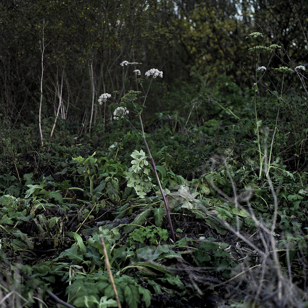 cow-parsley.jpg